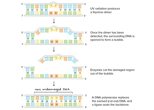 An illustration of nucleotide excision repair.