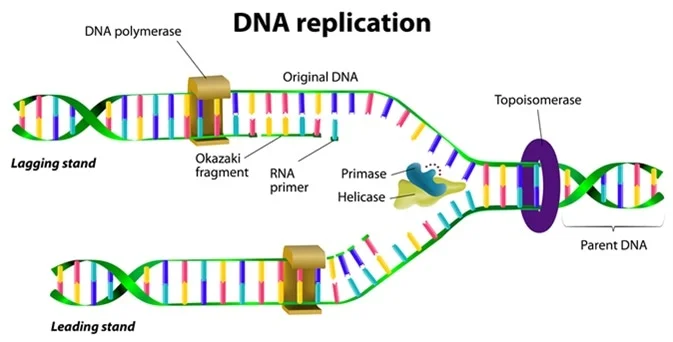 An illustration of DNA replication.